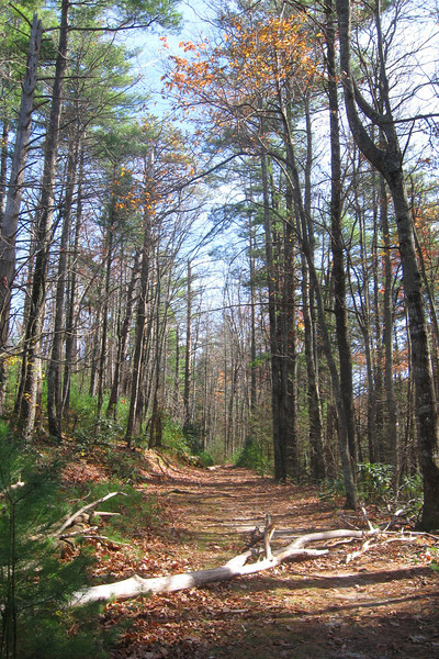 Nearing the Spence Ridge Trail the path utilizes an old logging grade under tall, stately pines...