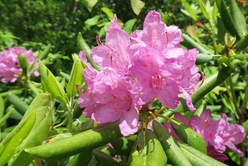 Catawba Rhododendron - 5,800'
