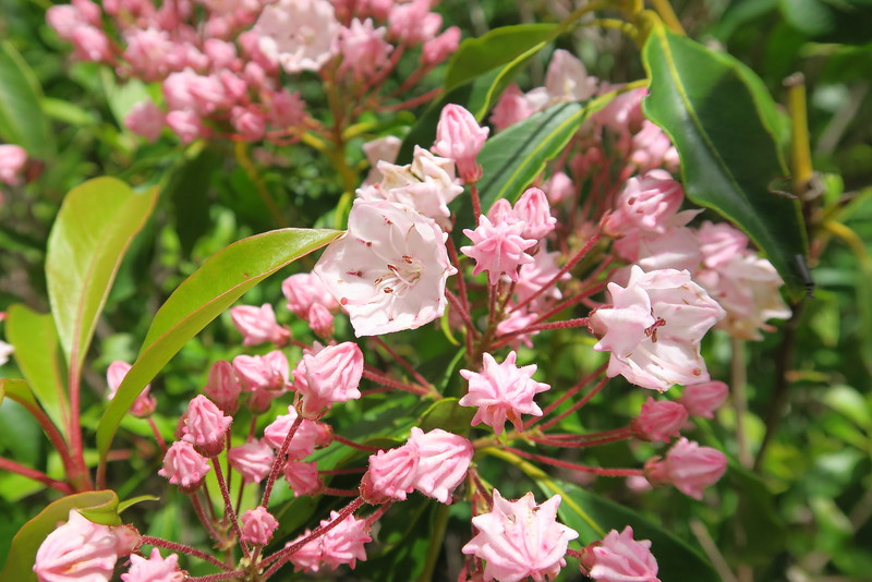 Mountain Laurel - 5,800'