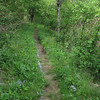 <b>Mountains-to-Sea Trail (5,780') - </b>Bluets leading me home...