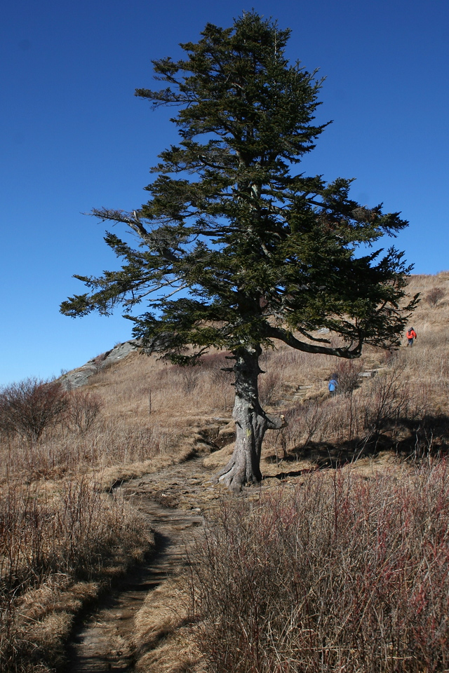 One has to marvel at the persistence of this old spruce, growing far above the protection of its brethren below...
