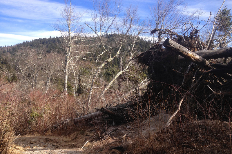Bigger isn't at all better on these windy ridgetops, as this large toppled tree so dramatically demonstrates...