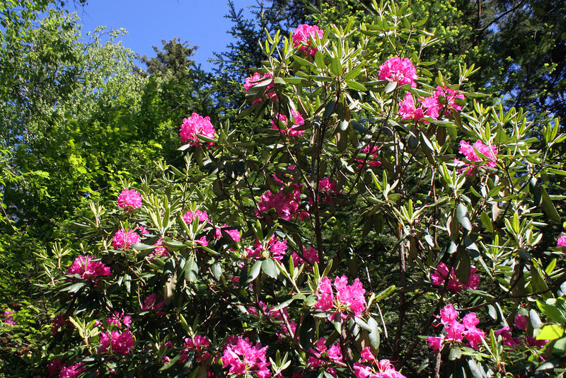 There were still a good number of rhododendron displaying flowers but you could tell their days were numbered...remarkable in the fact that they should <i>just</i> be blooming at this time of year...