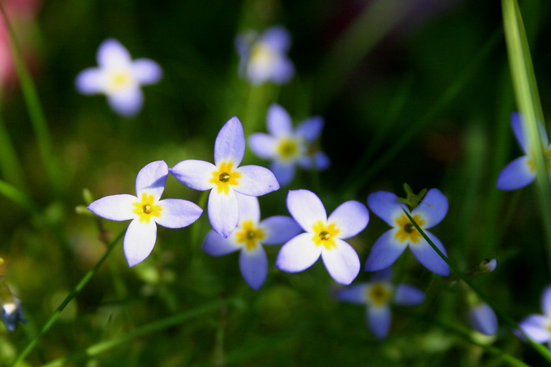 A few patches of delicate Bluets lined the trail at the start...