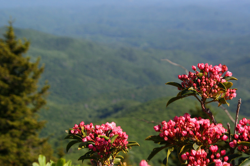 Soon-to-bloom Mountain Laurel glow in the late day sun...