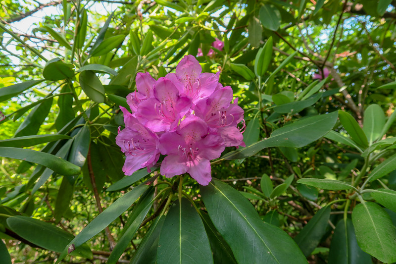 Catawba Rhododendron