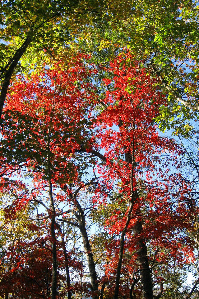 Red is a rather rare fall color in the south, making you appreciate seeing it a bit more when you see it...