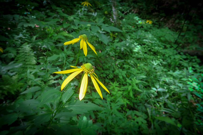 Cutleaf (Green-head) Coneflower