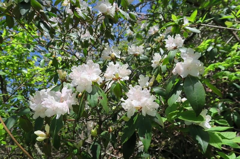 Piedmont Rhododendron