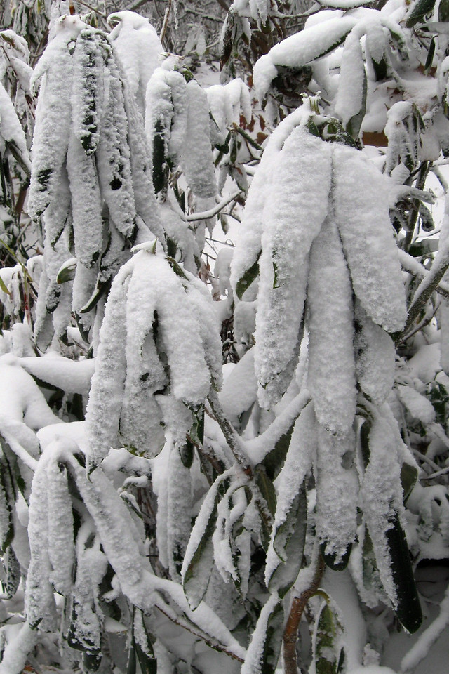 Is it me or does seeing a frosted rhododendron make you feel even colder?