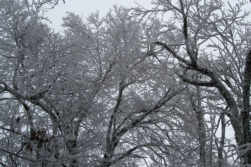 Some frosted oaks...