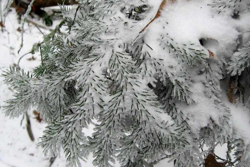 There is just something great about snow-covered spruces...