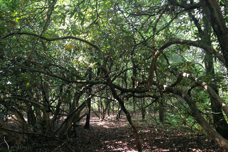 Almost immediately I found myself in a thick laurel tangle, it would be a common sight along this hike...