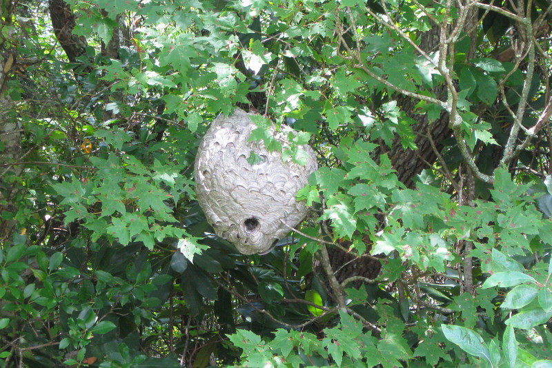 We recently had to tape off a corner of the picnic area because of this, a basketball-sized bald-faced hornet nest...these guys are MEAN so we're not going to mess with them.  A nest this size could be home to over 1,000 hornets!
