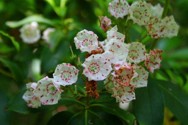 A left-over spring beauty...a few tenacious Mountain Laurel blossoms treat us along the way...