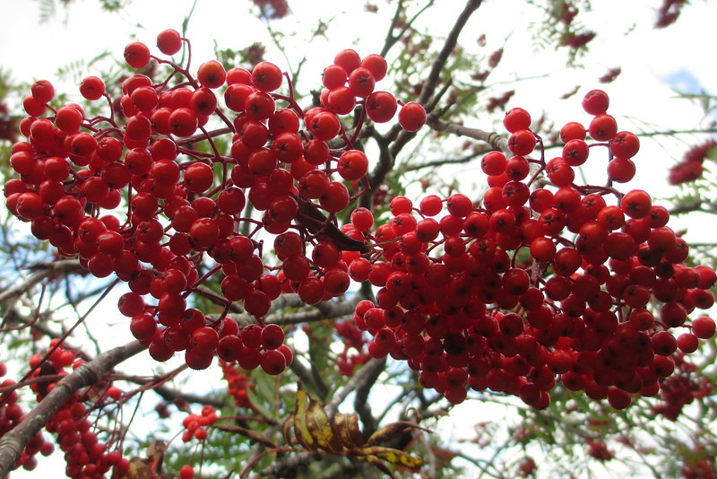 As I've said already, the Mountain Ash is one of my favorite autumn trees due to its showy clumps of red fruit.  Though not the tastiest fruit it is edible so, in a pinch, you could have some with no worries.  The fruit persists well into winter and thus serves as an important source of food for birds during the lean months...  (5,700')