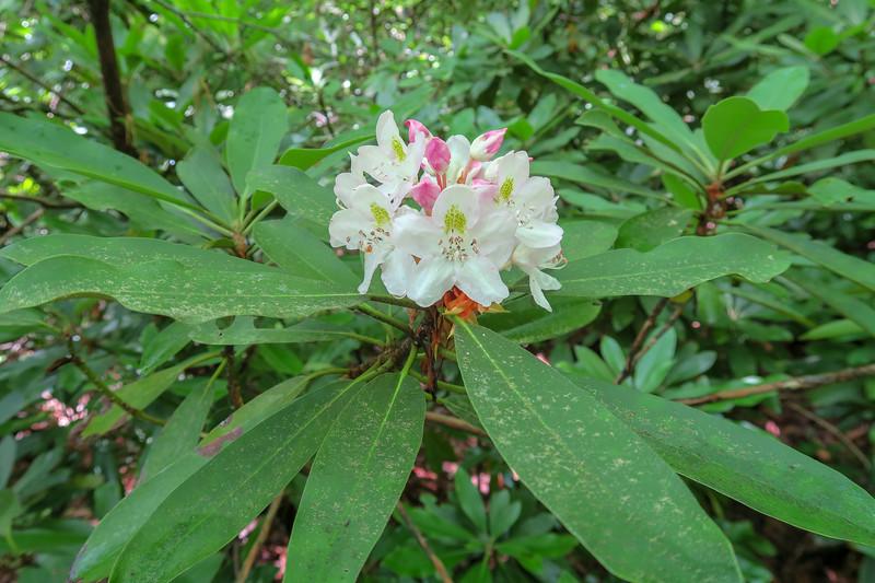 Rosebay Rhododendron