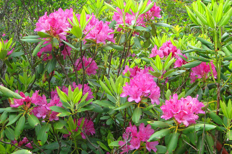 A nice patch of blooming rhododendron was a nice fare-thee-well as I left Richland Balsam...