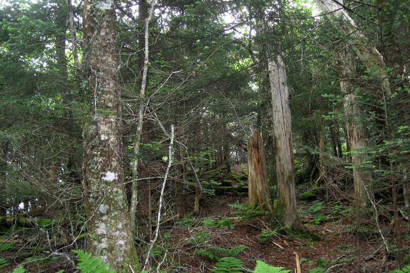 Nearing the top the undergrowth mercifully cleared out as I entered a typical high-elevation spruce-fir forest...