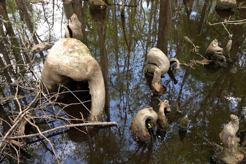 Cypress knees, above water extensions of the Bald cypress root system, are a common sight in the swamp.  Scientists to this day haven't nailed down their exact purpose, though one thing is for certain...the bigger the knee the older the tree it belongs to...