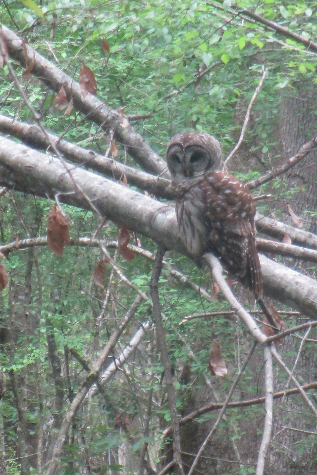 The highlight of the whole hike was being able to sit and watch this Barred Owl, not 100' off the trail, for a good 20 minutes.  He seemed completely indifferent to us snapping pictures as he patiently waited for a tasty snack to pass by beneath him...