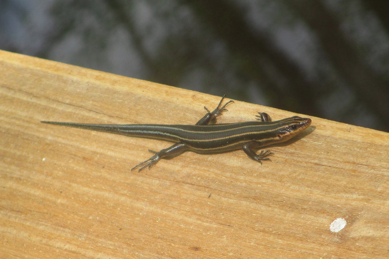 Where earlier we had found the Green Anole, now a Five-lined Skink greeted us along the railing...