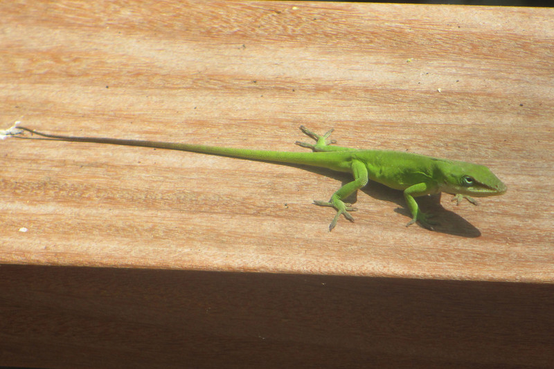 Running along the boardwalk rail ahead of us was this Green Anole...