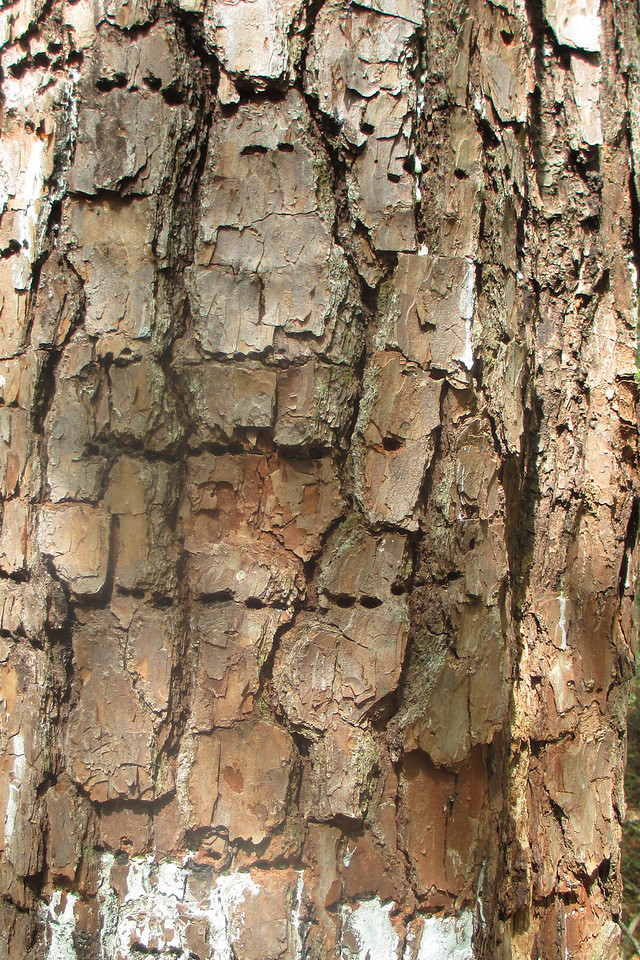 A busy sapsucker has left its tell-tale marks on this pine...