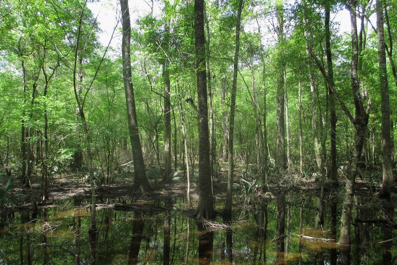The dark waters of the swamps in this region are known as 'blackwater'...it gets its dark coloring from tannins, a chemical which leaches from the bark and leaves of the trees in the swamp...