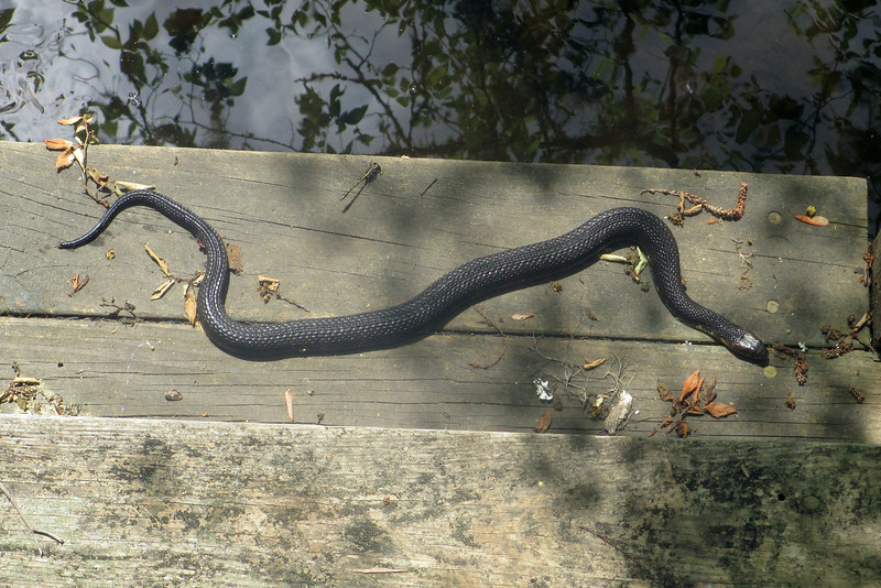 Another good sized water snake sunning itself along the dock at Goodson Lake...