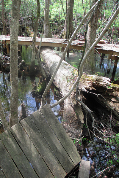 By nature, this swamp is an ever-changing place...this means that frequent repairs of the boardwalk are needed as you can see here...