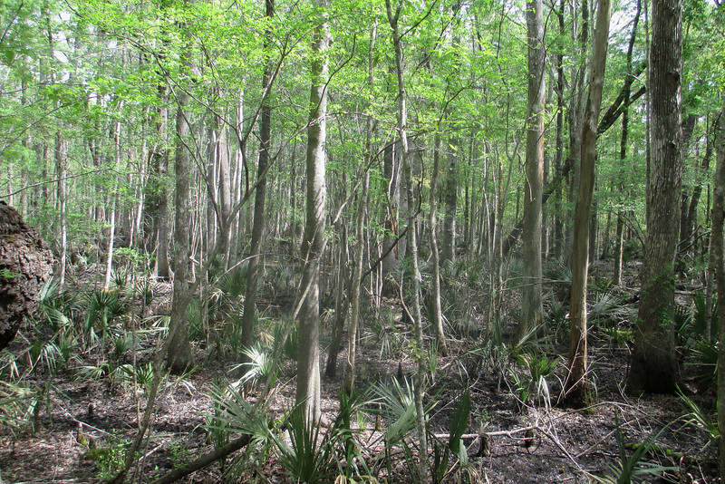 Where the ground was higher and drier the understory was covered in clumps of Dwarf palmetto.  Despite their small size these miniature palm are <i>extremely</i> long-lived, the oldest on record surviving 500-700 years!...