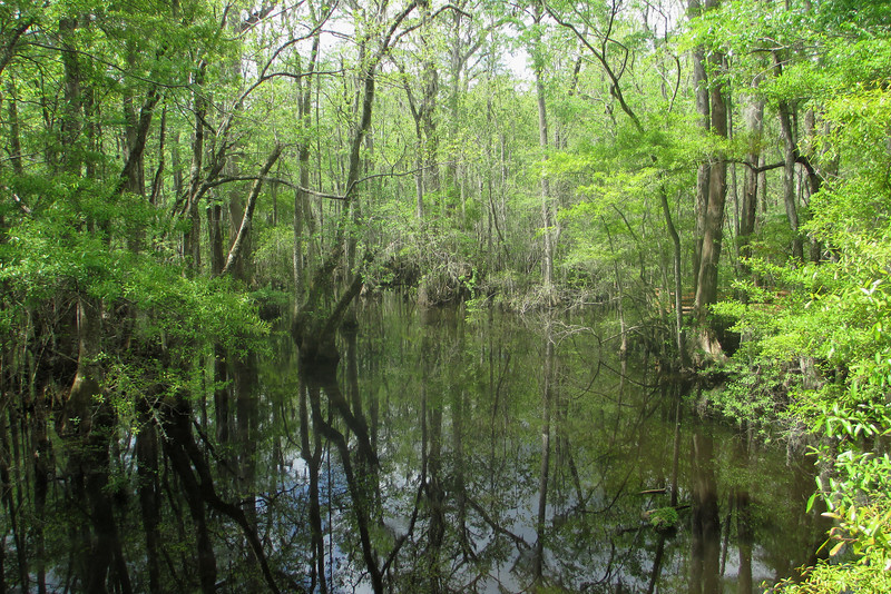 Goodson Lake isn't so much a stand-alone body of water but rather a somewhat deeper section of swamp, too deep to allow trees to grow in it.  As it is permanently covered in water, this is a popular place to see wildlife in the summer when the rest of the swamp sometimes dries up...