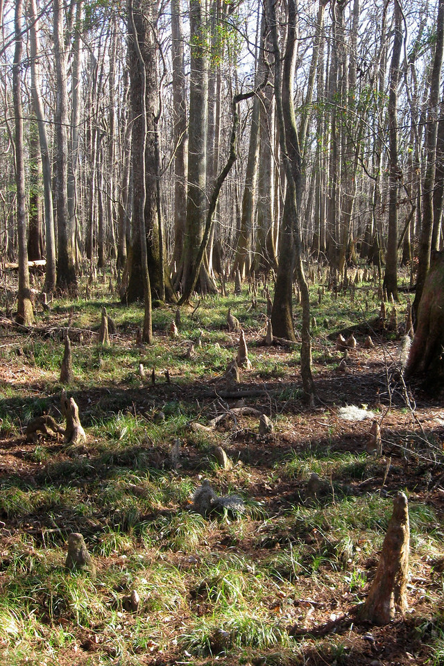 Knees everywhere...these strange stumps are cypress knees which serve some as-yet unknown purpose to their parent trees.  Some speculate they serve like a type of 'snorkel' for the parent trees root system and/or for stabilization during periods when the forest floor is submerged...