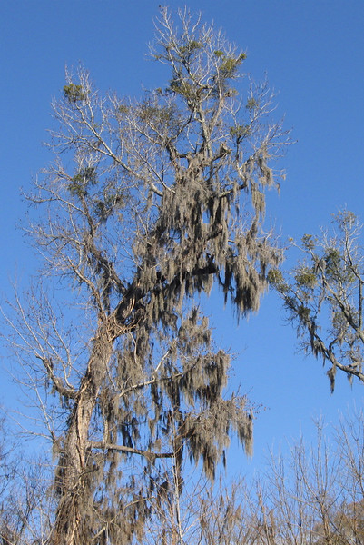 Some of the taller trees had an amazing amount of Spanish Moss hanging from their branches...