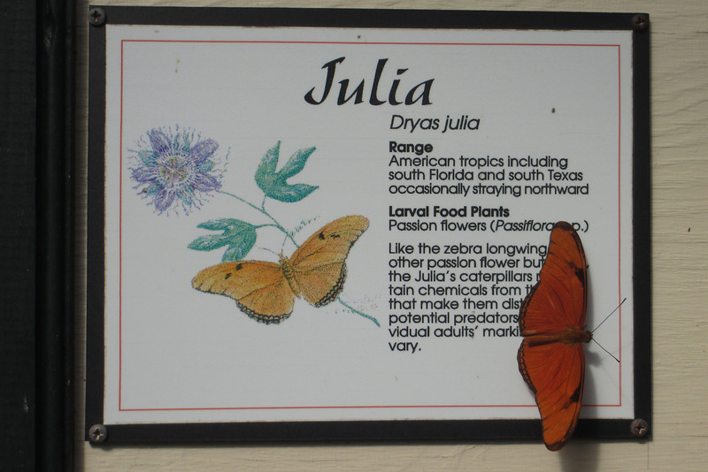 This beautiful little <i>Julia</i> was nicely posing on its namesake sign...