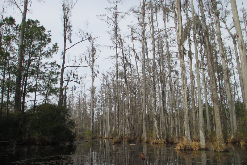 Thick tufts of Spanish Moss hang in the branches far above...