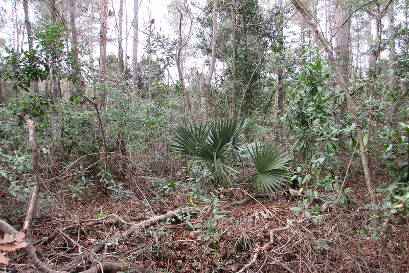 The typical trail side scene away from the swamp, a thick woodland choked with vines and saw palmettos...no off-trail exploring today, that's for sure...