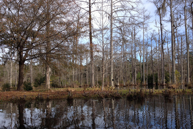 The first spot of interest we passed was this small island ringed with tiny cypress knees...
