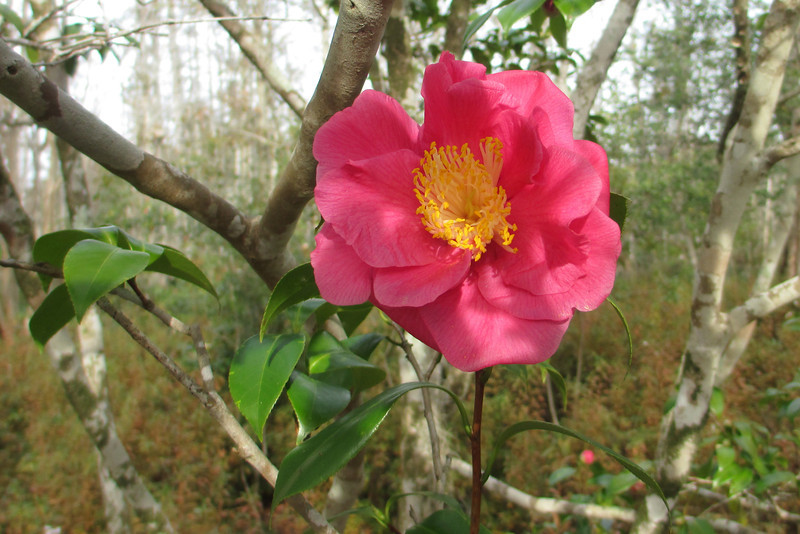In stark contrast to the winter season is the winter flowering <i>Camellia</i> which was just starting to add its beauty to the woodlands...