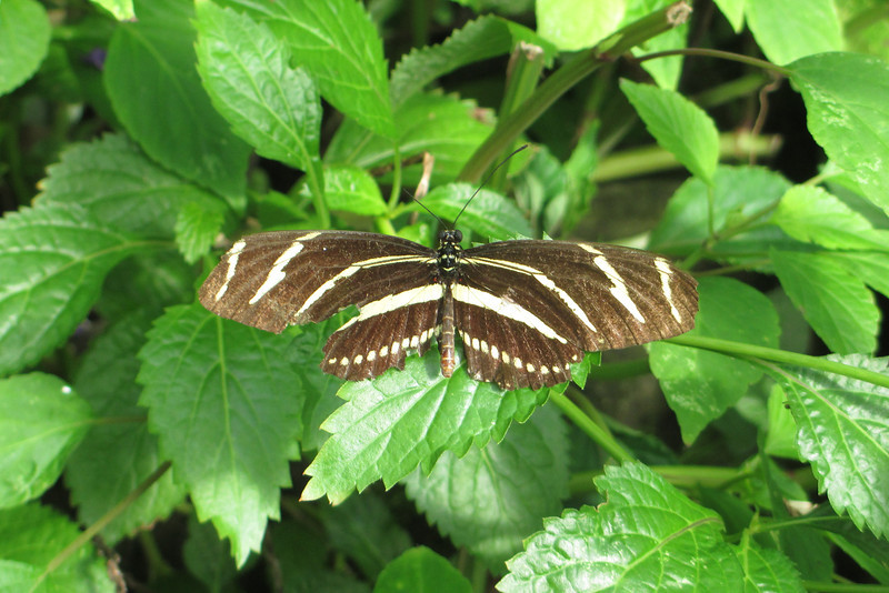 By far the most common butterfly in the house was this one...a <i>Zebra Longwing</i>.  They're occasional visitors to extreme southern coastal South Carolina...