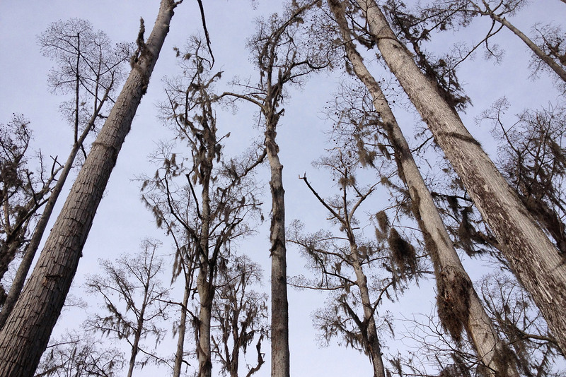The cypress canopy...