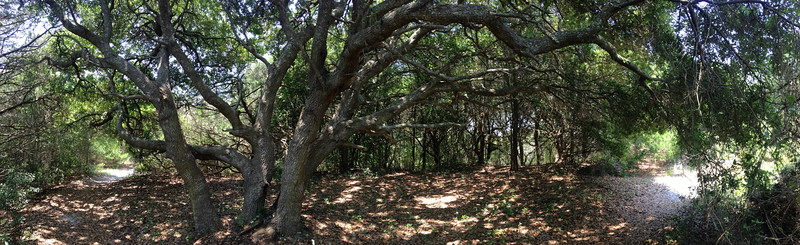 The trail as it winds around and under the branches of a particularly wide, overhanging oak...