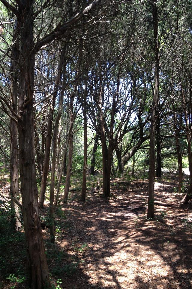 A brief passage through a small grove of Atlantic Red Cedar...