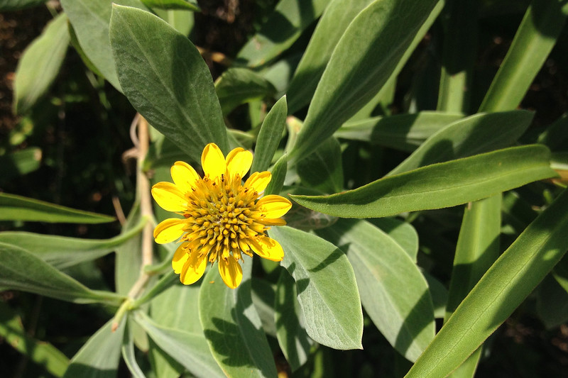 A common wildflower of the southern Atlantic shore, the Sea Daisy was a common sight where the trail got a bit closer to the water...