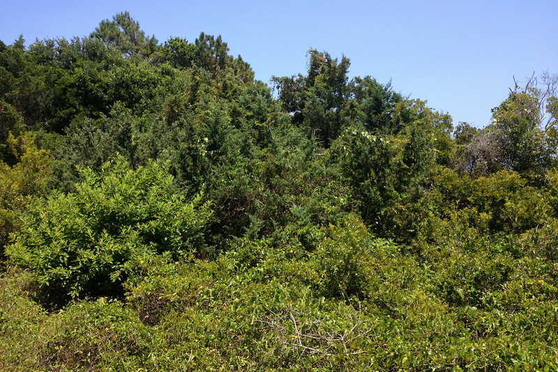 These coastal plant communities always impress me with how dense the foliage is...an all but unbroken blanket of green from the ground to the sky...