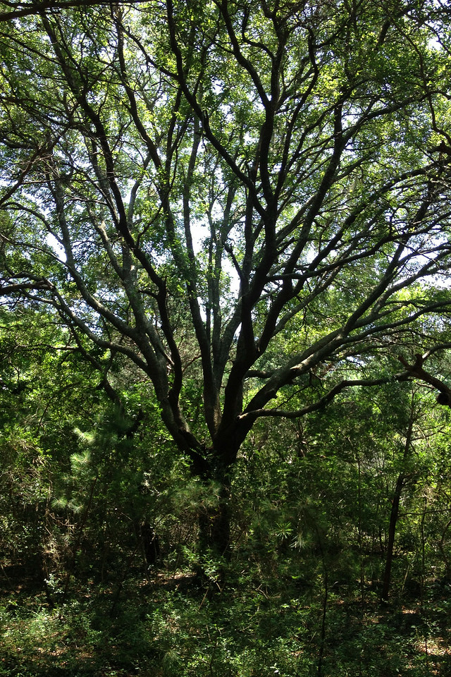 A rather tall oak for this area spreads its branches high above the canopy...