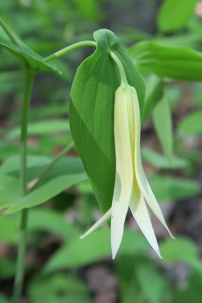 Perfoliate Bellwort (or, Wild-oats)