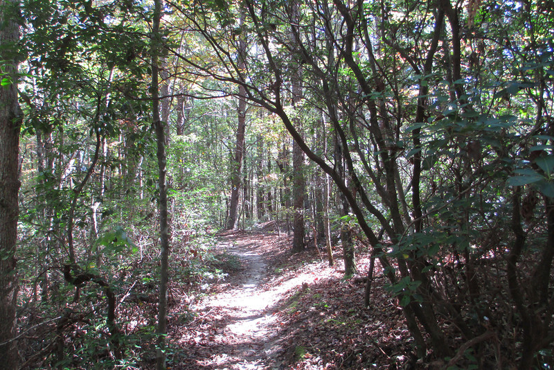 Passing from laurel thicket to open forest...what would become a common routine along this hike...