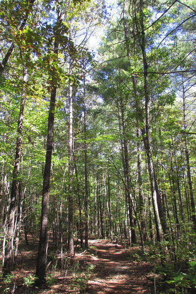 A tall, young forest lines the upper portion of the Natural Bridge Trail...